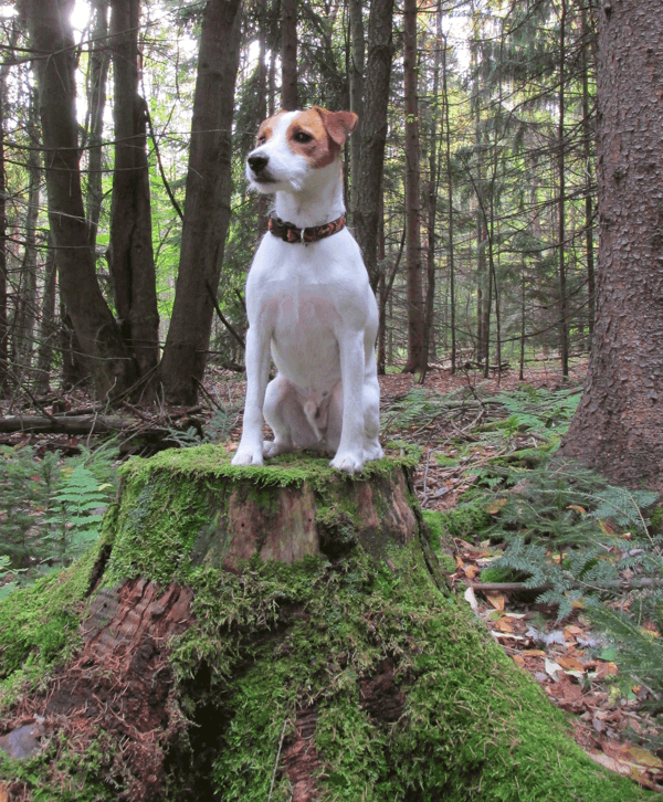 Best small dog for hiking