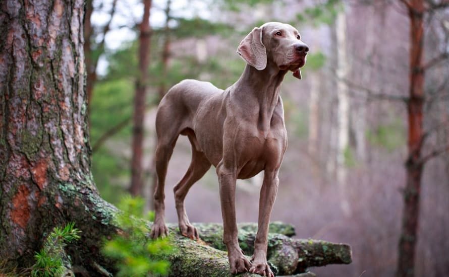 Best dogs for protection against wild animals