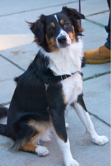 australian shepherd bernese mountain dog mix