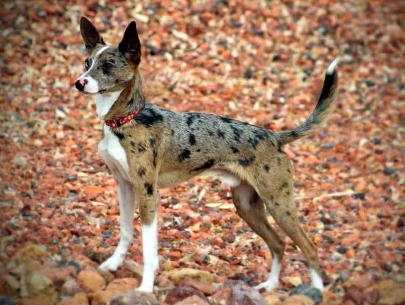 australian shepherd rat terrier mix