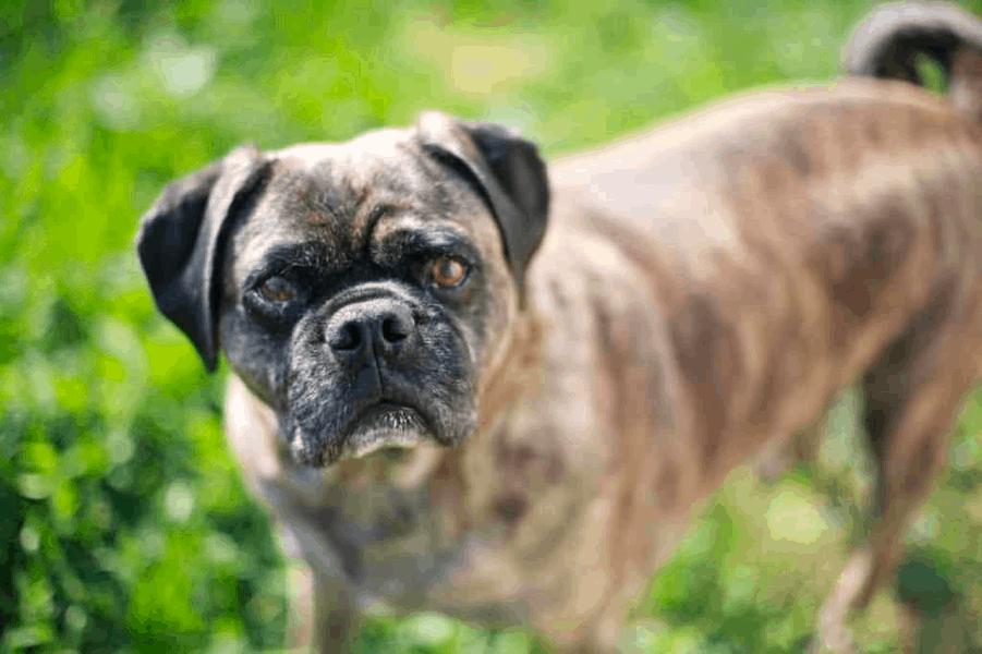 boxer pug mix