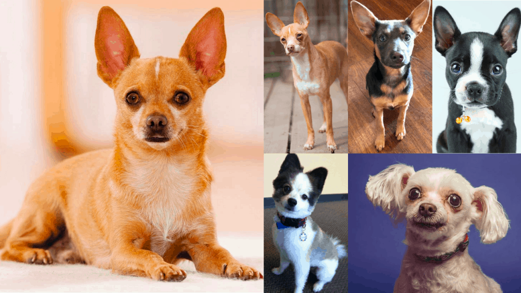 Best chihuahua mixes