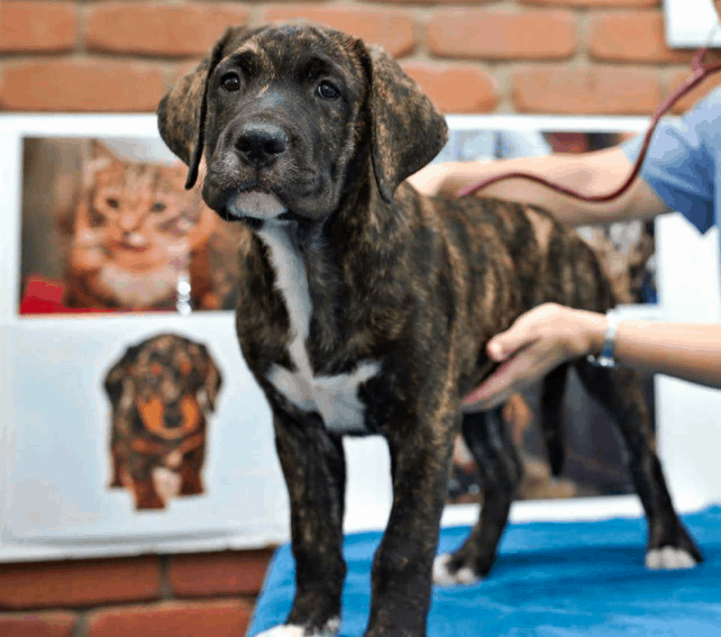 Boxer Labrador Retriever mix