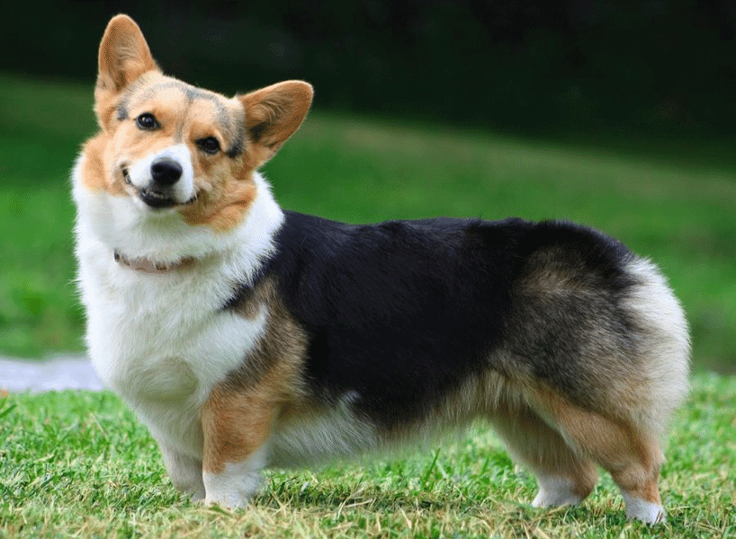 Corgi Beagle Mix