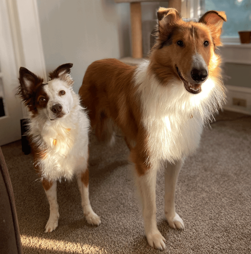 border collie brittany mix
