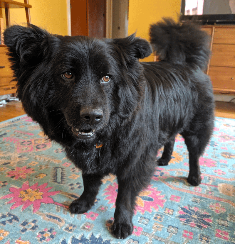 border collie chow chow mix