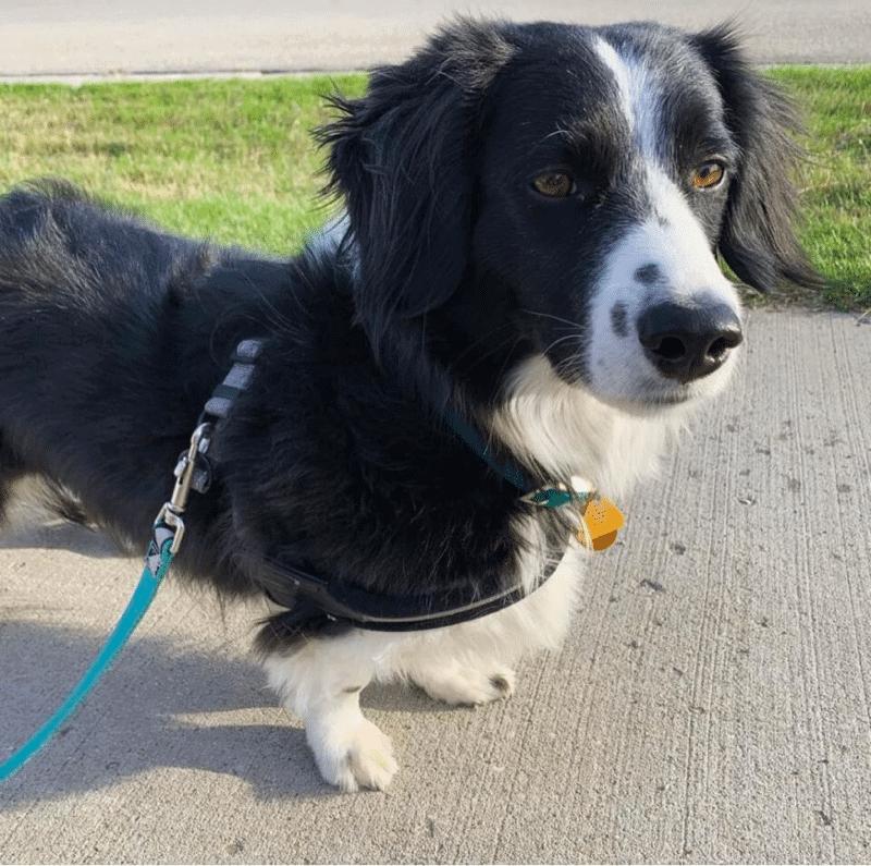 border collie dachshund mix