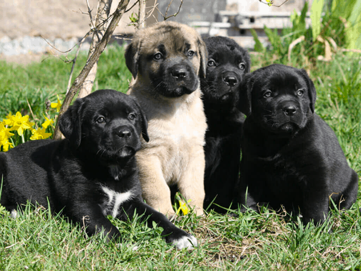 boxador puppies