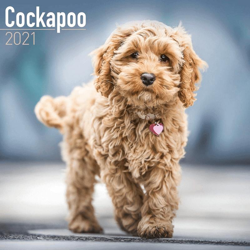 cockapoo
