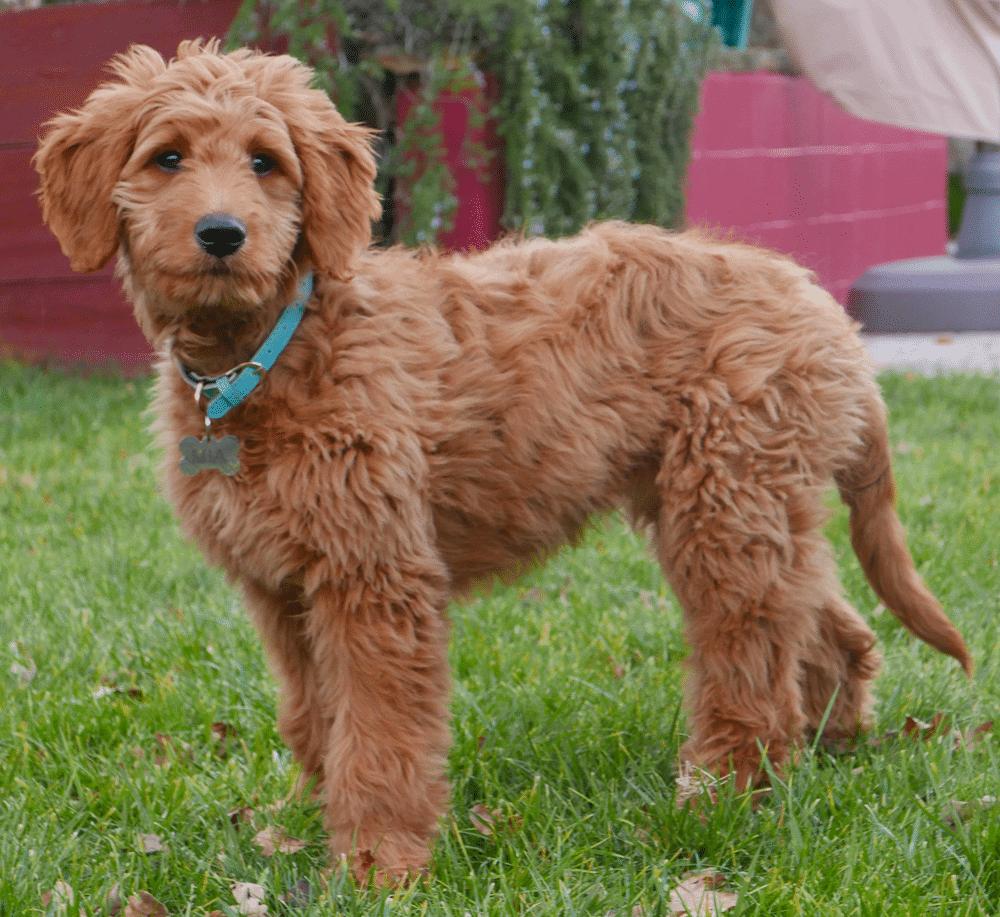 golden retriever poodle mix