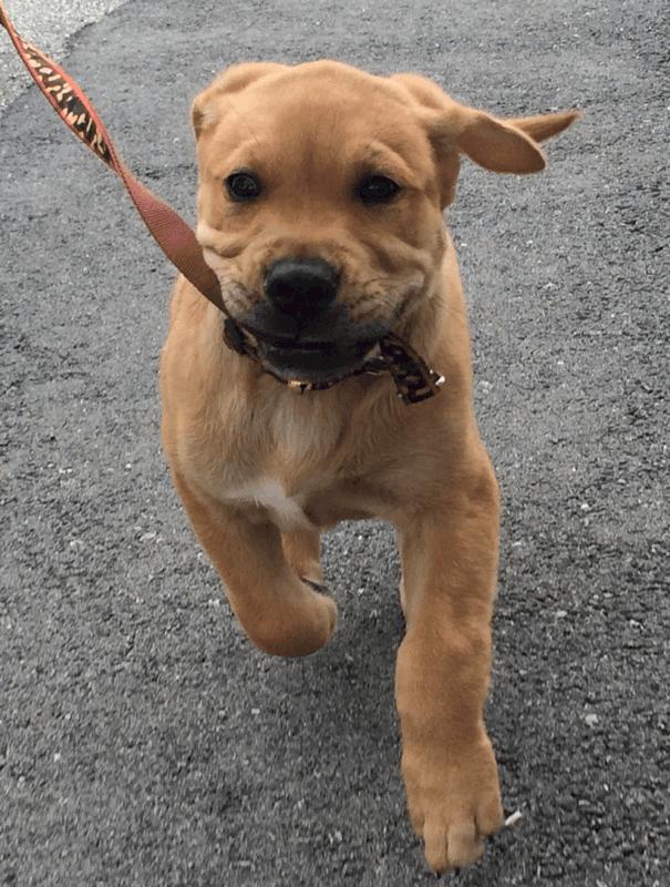 Golden Bull Terrier