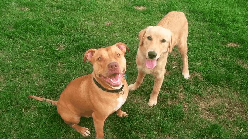 Pitbull Golden Retriever