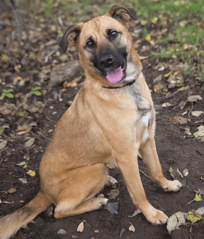 Shepherd Boxer