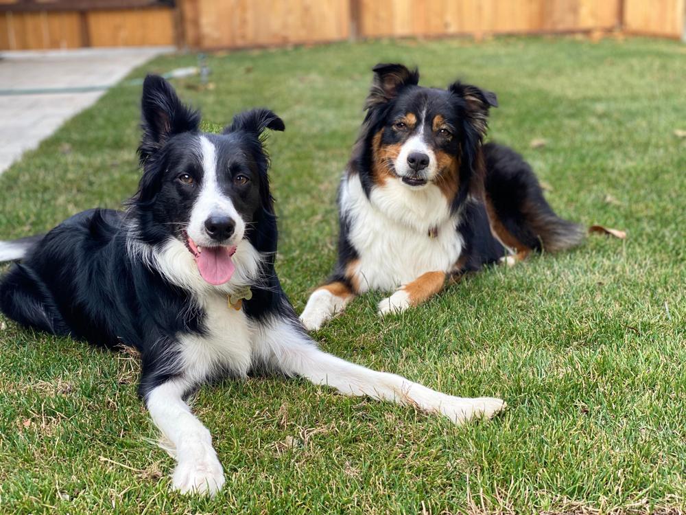 Border Collie and Australian Shepherd Comparison